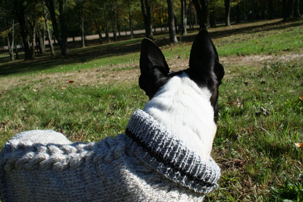 Boston terrier, knitted dog sweater, wearable swatch, cable knitting pattern.