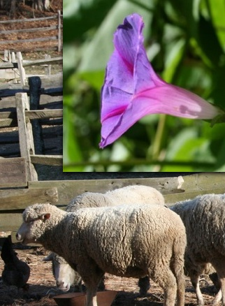 Woolly sheep in barnyard, glorious morning glory blue in bloom. Moo Dog Knits.
