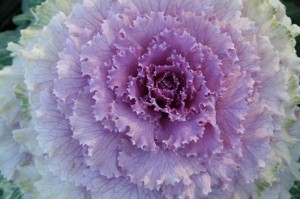 Color found in nature - a kale with graduations that inspired a knit.