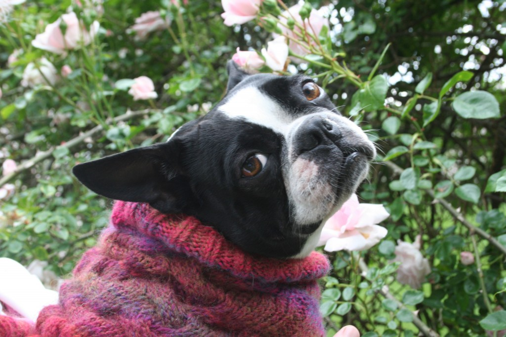 Boston terrier in handknit sweater on location with a wall of roses. Image, Moo Dog Knits Magazine.