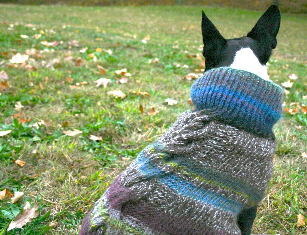 A Boston terrier sports a color-banded hand knit sweater.