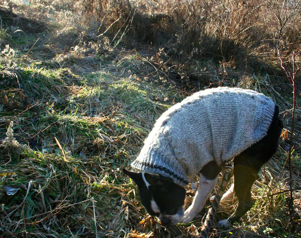 Boston terrier cable handknit sweater on our daily walk in winter.