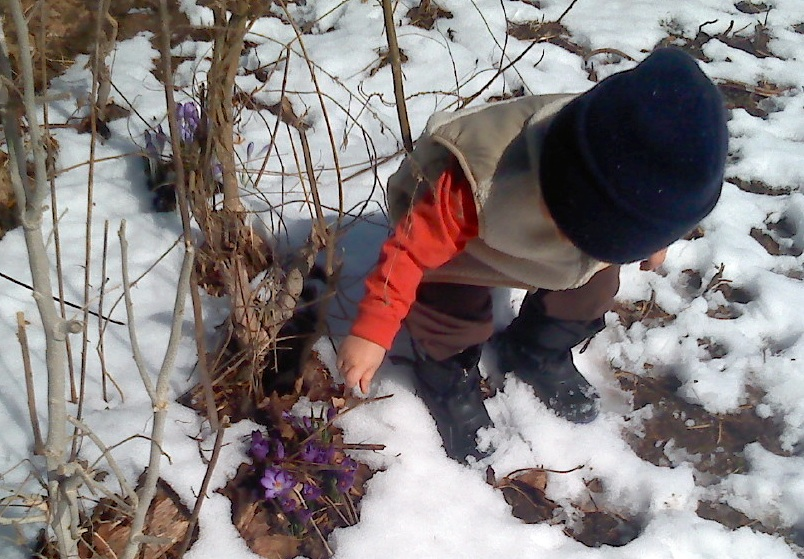 Knits keep a small boy warm as he explores purple crocus in a surprise spring snow.