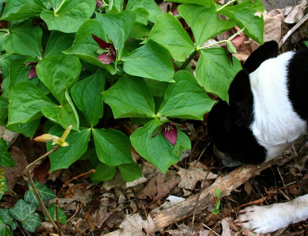 Trillium and Boston terrier.