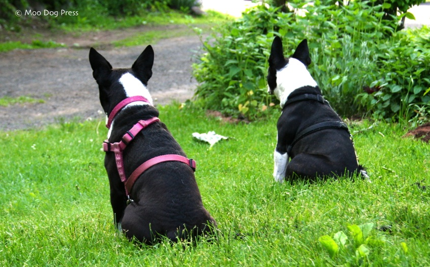 Two Boston terriers intent on a beagle nearby. Moo Dog Knits