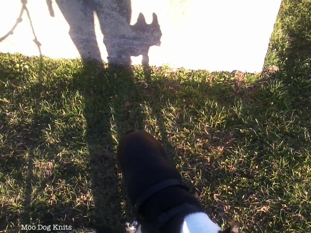 Boston terrier Chewy and his shadow.  Moo Dog Knits.