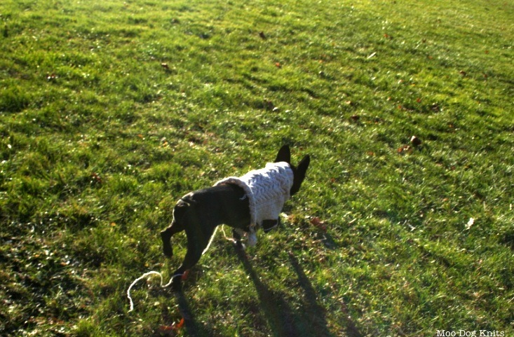 Boston terrier runs in a nearly completed knit sweater.