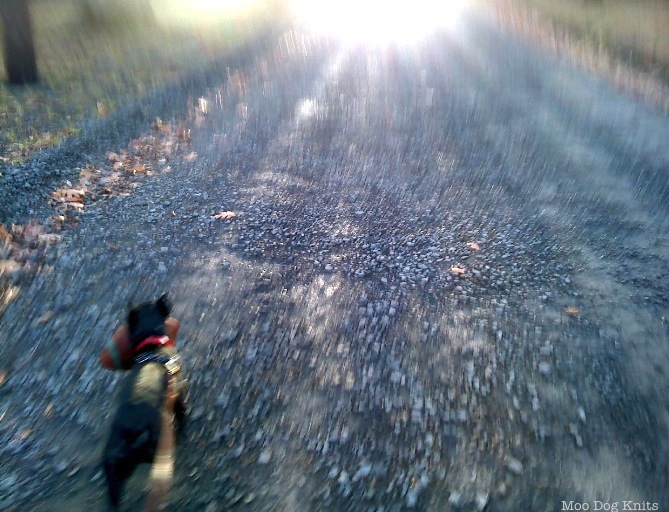In motion, a Boston terrier on a daily walk in winter.