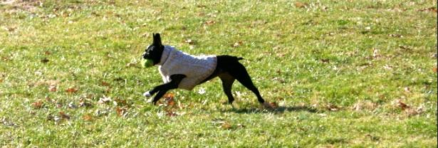 Boston terrier in a Farmhouse yarn knit sweater.