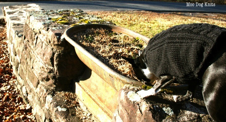 Boston terrier in Spud and Chloe black pepper yarn and an old watering trough.