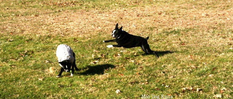 Terrier at play with knitted sweater means an extension of time outdoors.