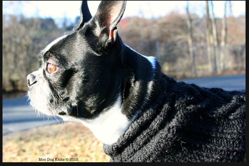 Boston terrier wears custom knit to fit sweater.