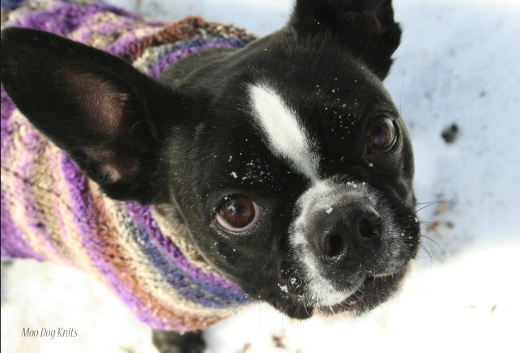 Boston terrier and warm hand knit Noro sweater in winter. Moo Dog Knits.