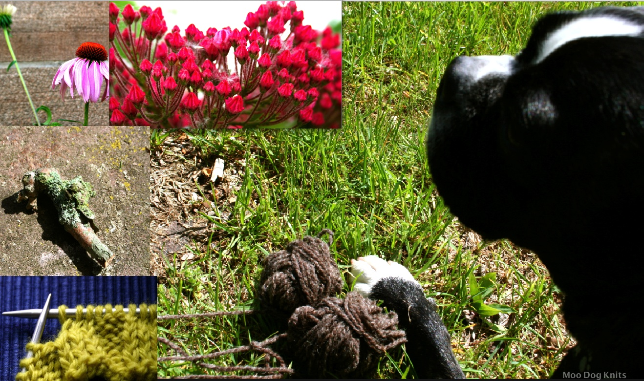 Boston terrier with mountain laurel, lichen, coneflowers for natural dyes and knitting inspiration.