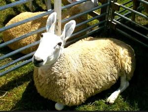 Border Leicester sheep. Photo: Xabier Cid, CC.