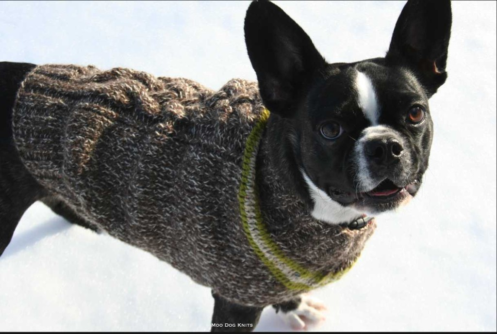 Boston terrier in hand-knitted custom sweater design. Moo Dog Knits.