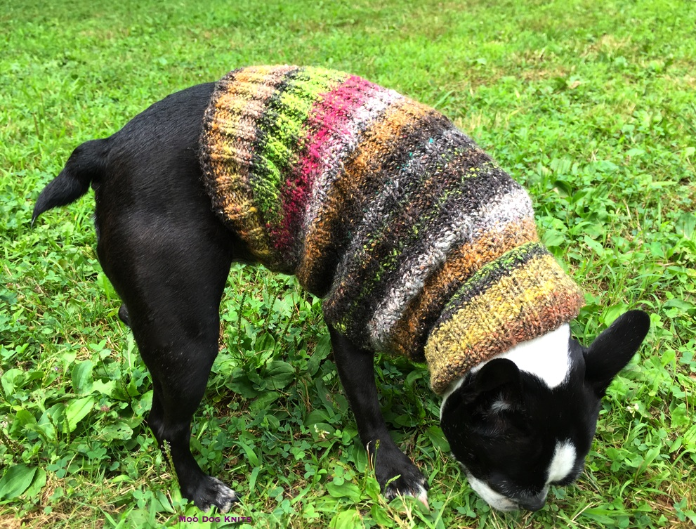 Noro on Boston terrier. © Moo Dog Knits.