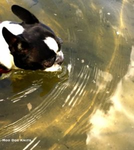 Boston terrier in a river making ripples.