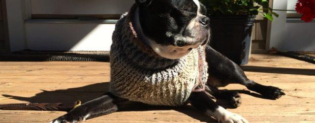 Boston terrier in custom knit sweater
